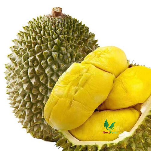 trồng sầu riêng