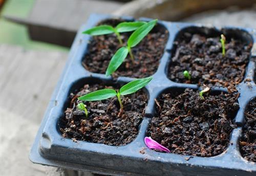 4 bước trồng ớt đơn giản hiệu quả | Kinh nghiệm làm ăn | Báo ảnh Dân tộc và Miền núi