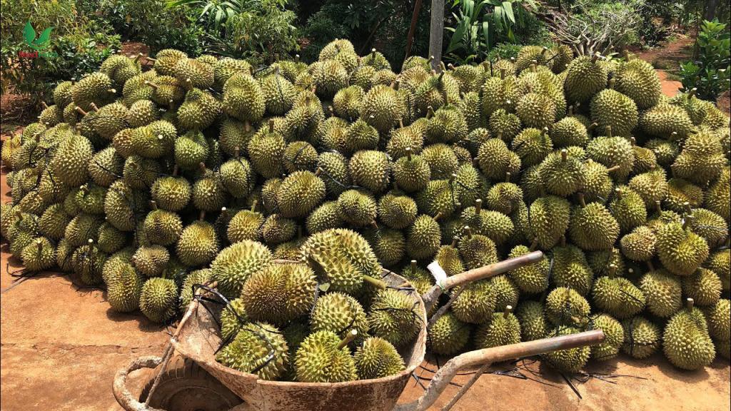 thu hoạch sầu riêng
