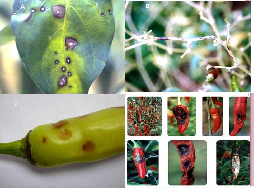 Quản lý sâu, bệnh hại trên cây Ớt và cách phòng trị hiệu quả - VƯỜN SINH THÁI