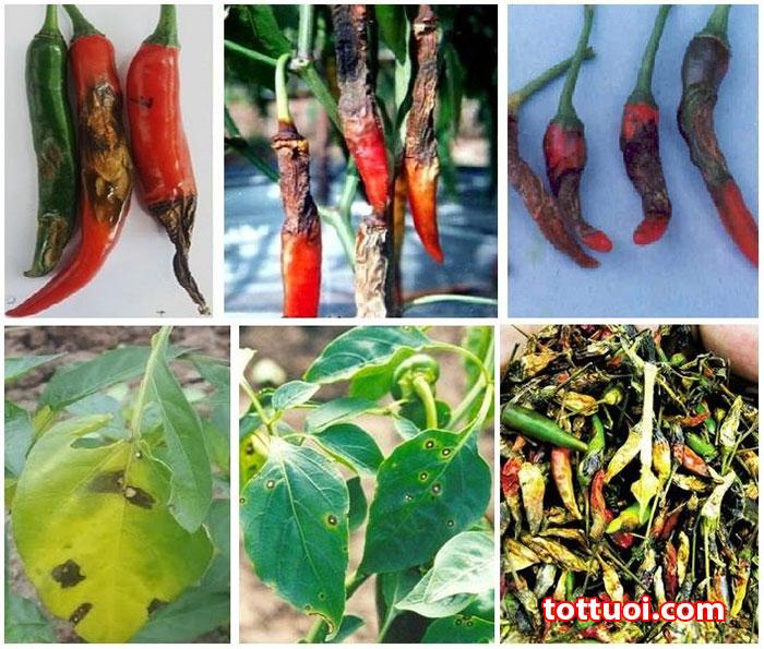 Biện pháp phòng trừ các loại bệnh thường gặp ở cây ớt