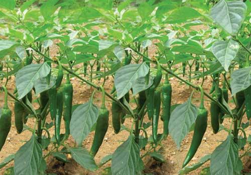 Kỹ thuật trồng ớt – Hiệu quả, năng suất cao
