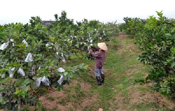 Kỹ thuật trồng ổi đúng cách – ít sâu bệnh – nhanh thu hoạch