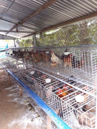 Kết quả hình ảnh cho chuồng gà đẻ