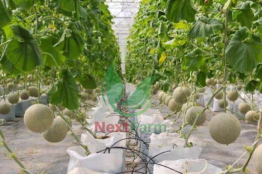 Dưa vàng kim hoàng hậu Điền Trạch Farm – thơm ngon bổ dưỡng, chuẩn VietGAP