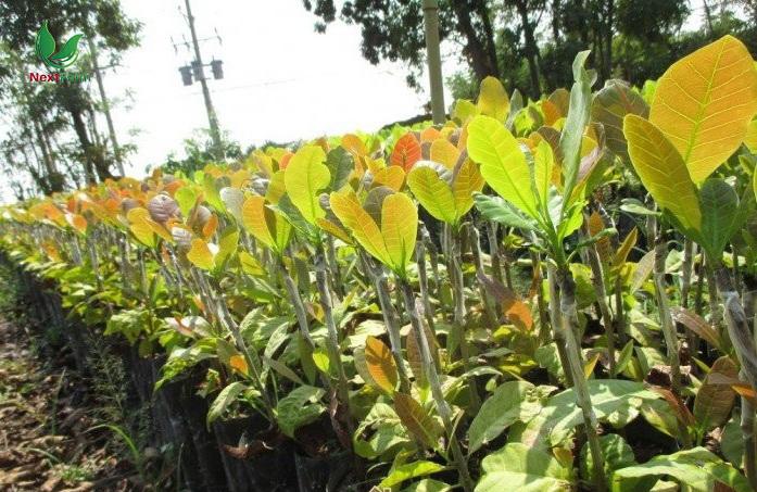 cách trồng nho