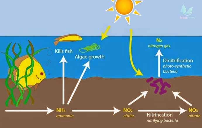 Ammonia trong nuôi trồng thủy sản và máy đo độ PH của nước