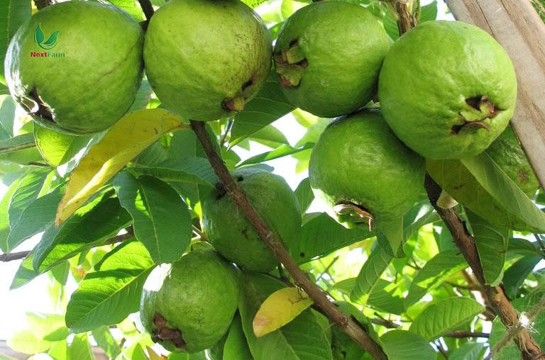 ký thuật trồng trái ổi