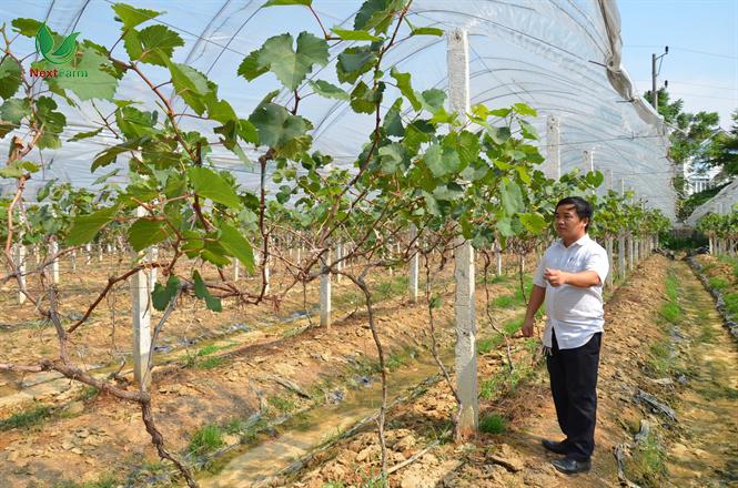 kỹ thuật trồng cây nho