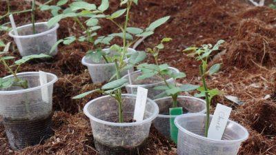 Cách trồng hoa hồng đẹp, đạt hiệu quả cao nhất