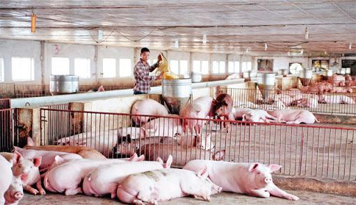 Lợi nhuận không giới hạn từ giải pháp cho chăn nuôi
