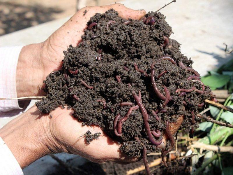 Cách nuôi trùn quế hiệu quả theo chia sẻ của chuyên gia